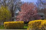 Flowering Magnolia and Forsythia in Spring, Morris, CT