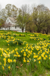 White Barn with Field of Daffodils in Full Bloom in Spring, New Salem Common Historic District, New Salem, MA