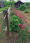 Tulips along Farmyard Fence