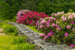 Rhododendrons in Full Bloom along Stone Wall in Spring, Chaplin, CT