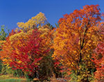 Brilliant Fall Colors in Hardwoods, Berkshire Mountains