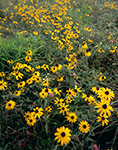 Black-eyed Susans in a Meadow