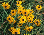 Black-eyed Susans and Grasses