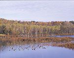 Migrating Canada Geese on Pond in Fall