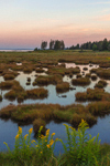 Salt Marsh at Sunrise with Goldenrod in Foreground, Looking out towards Mitchell Cove, Mount Desert Island, Tremont, ME
