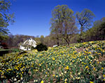 Thousands of Naturalized Daffodils in Full Bloom