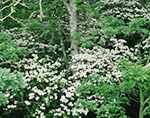 Woodlands Dense with Mountain Laurel