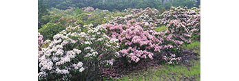 Mountain Laurel, Mt. Pisgah