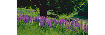 Lupines and Sugar Maple Tree