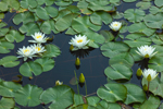 Fragrant Water Lilies in Bow Brook, Quabbin Reservation, New Salem, MA