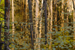 Trees Reflecting in a Beaver Pond, Athol, MA