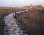 Boardwalk through Reeds at Wasque Reserve