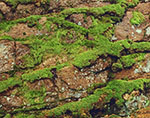 Close-up of Wet Moss and Granite Rock on Ocean Trail