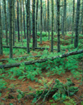 White Pine Forest, Tree Trunks, and Young Seedlings, Quabbin Reservation, Petersham, MA