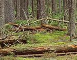 Fallen Logs in Spruce Forest