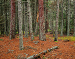Red Pine and Spruce Tree Trunks in Spruce Forest, Acadia National Park