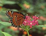 Southern Viceroy Butterfly