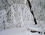 Red Maple Swamp after Heavy Snow