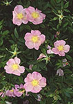 Wild Roses on Cape Cod