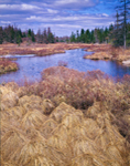 Tussock Sedges and Wetlands, Whiting, ME