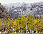 Birches and Early Snow in Fall on Mt. Katahdin