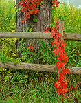 Farm Fence, Virginia Creeper and Old Hickory Tree in Fall