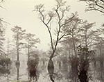 Bald Cypress and Water Tupelo Swamp in Fog
