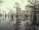 Bald Cypress and Water Tupelo Swamp