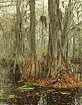 Bald Cypress Trees and Spanish Moss