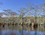Bald Cypress and Water Tupelo Trees