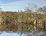 Water Tupelo and Bald Cypress Swamp