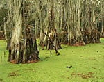 Bald Cypress Swamp and Duckweed