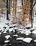 Beech Leaves in Winter along Little River