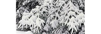 Balsam Fir Bough Laden with Snow