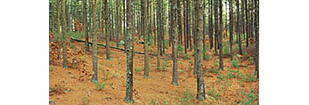 White Pine Forest, Miles Standish State Forest
