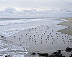 Willets in Winter Plumage,  Cape Hatteras National Seashore,