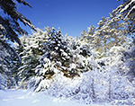 Blue Skies after Fresh Snowfall in Woodlands of Quabbin Reservation,