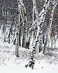 Birch Tree Trunks in Winter Snow, Quabbin Park, Quabbin Reservation,
