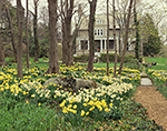 Daffodils in Full Bloom at Blithewold Arboretum,