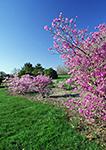Flowering Azaleas at Colt State Park in Spring,