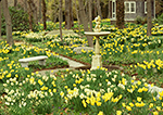 Daffodils in Full Bloom, Blithewold Arboretum,
