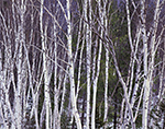 White Birch Tree Trunks, White Mountains National Forest, Harts Location, NH