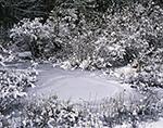 Shrub Swamp Wetlands after Fresh Snowfall