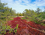 Wild Cranberry Bog and Pitch Pines, Inner Dunes, Cape Cod National Seashore, Provincelands