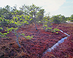 Deer Trail through Wild Cranberry Bog and Pitch Pines, Inner Dunes, Cape Cod National Seashore, Provincelands