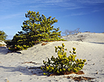 Pitch Pines Trees in Sand Dunes, Cape Cod National Seashore, Provincelands