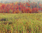 Cattail Marsh and Red Maple Swamp in Fall