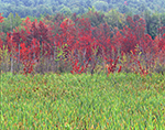 Cattails and Red Maple Swamp in Fall