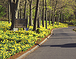 Daffodils in Bloom along Entrance Road to Hubbard Park, National Register of Historic Places