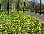Daffodils in Bloom along Road in Hubbard Park, National Register of Historic Places